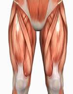 [Image: Quadriceps.jpg]